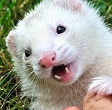 Picture of cure white ferret.