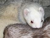 One ferret grooms another and as it does inadvertantly ingests hair which can lead to hairballs.